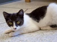 Domestic Short Hair - Tammy - Small - Young - Female -