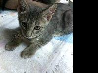 Domestic Short Hair - Tarzan - Medium - Baby - Male -