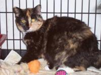 Domestic Short Hair - Tawny - Medium - Adult - Female -
