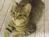 Domestic Short Hair - Taz - Medium - Baby - Male - Cat