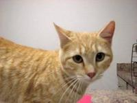 Domestic Short Hair - Teena - Small - Young - Female -