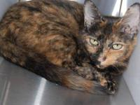 Domestic Short Hair - Tempest - Large - Adult - Female