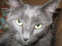 Domestic Short Hair - Tex - Medium - Adult - Male -