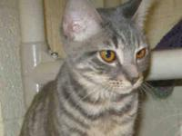 Domestic Short Hair - Thelma - Small - Young - Female -