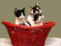 Domestic Short Hair - Three Little Kittens - Medium -