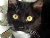 Domestic Short Hair - Tic - Small - Young - Female -