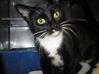 Domestic Short Hair - Tico - Medium - Young - Male -