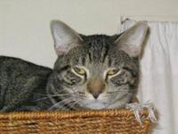 Domestic Short Hair - Tiger - Large - Adult - Female -