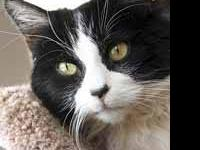 Domestic Short Hair - Tiger Lilly - Medium - Senior -