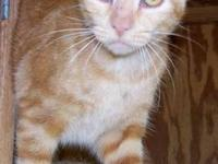 Domestic Short Hair - Tiger - Small - Young - Female -