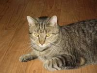 Domestic Short Hair - Tiger - Small - Young - Male -