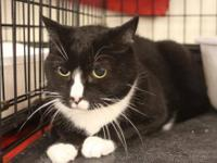 Domestic Short Hair - Timmy - Medium - Young - Female -