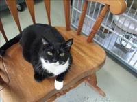 Domestic Short Hair - Timothy - Large - Adult - Female