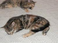 Domestic Short Hair - Tina - Small - Young - Female -
