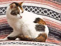 Domestic Short Hair - Tink - Small - Adult - Female -