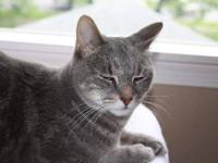 Domestic Short Hair - Tinkerbelle - Medium - Young -