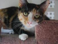 Domestic Short Hair - Tinsel - Small - Adult - Female -
