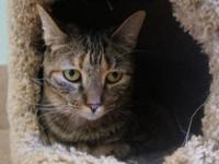 Domestic Short Hair - Tippie - Medium - Young - Female