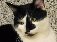 Domestic Short Hair - Toby - Large - Adult - Male -