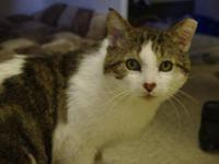Domestic Short Hair - Toby - Medium - Adult - Male -