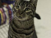 Domestic Short Hair - Toby - Medium - Young - Male -
