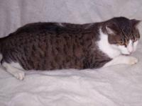 Domestic Short Hair - Tom - Large - Adult - Male - Cat