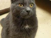 Domestic Short Hair - Tom - Medium - Young - Male -