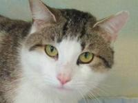 Domestic Short Hair - Tommy - Extra Large - Adult -