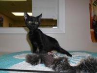 Domestic Short Hair - Tonto - Small - Baby - Male -