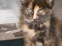 Domestic Short Hair - Tootsie - Medium - Baby - Female