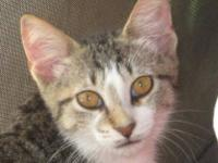 Domestic Short Hair - Topaz - Medium - Adult - Male -