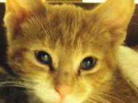 Domestic Short Hair - Toro - Medium - Young - Male -
