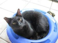 Domestic Short Hair - Trek - Medium - Young - Male -