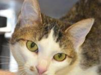 Domestic Short Hair - Trudy - Small - Young - Female -