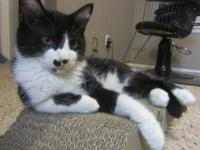 Domestic Short Hair - Tucker - Medium - Young - Male -