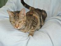Domestic Short Hair - Turkey - Medium - Young - Female