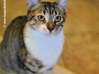 Domestic Short Hair - Tweety Pie - Small - Young -