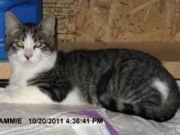 Domestic Short Hair - Tyson - Medium - Young - Male -