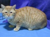 Domestic Short Hair - Valentine - Large - Adult - Male