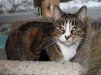 Domestic Short Hair - Valerie - Small - Young - Female