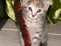 Domestic Short Hair - Valora - Small - Baby - Female -