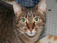 Domestic Short Hair - Vanessa - Medium - Adult - Female