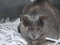 Domestic Short Hair - Vanessa - Small - Young - Female