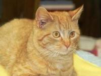 Domestic Short Hair - Vanna - Large - Adult - Female -