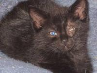 Domestic Short Hair - Venus, Orion & Sparkle - Medium -