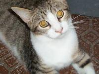Domestic Short Hair - Vic - Small - Young - Male - Cat