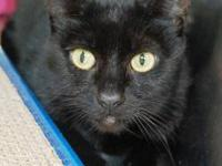 Domestic Short Hair - Victor - Large - Adult - Male -