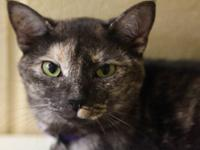 Domestic Short Hair - Violet - Large - Young - Female -