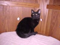 Domestic Short Hair - Virgil - Medium - Young - Male -