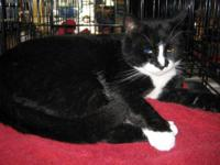 Domestic Short Hair - Wally - Large - Adult - Male -